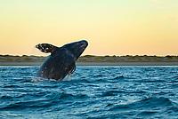 Gray whale (eschrichtius robustus) A gray whale breaching. Mexico.