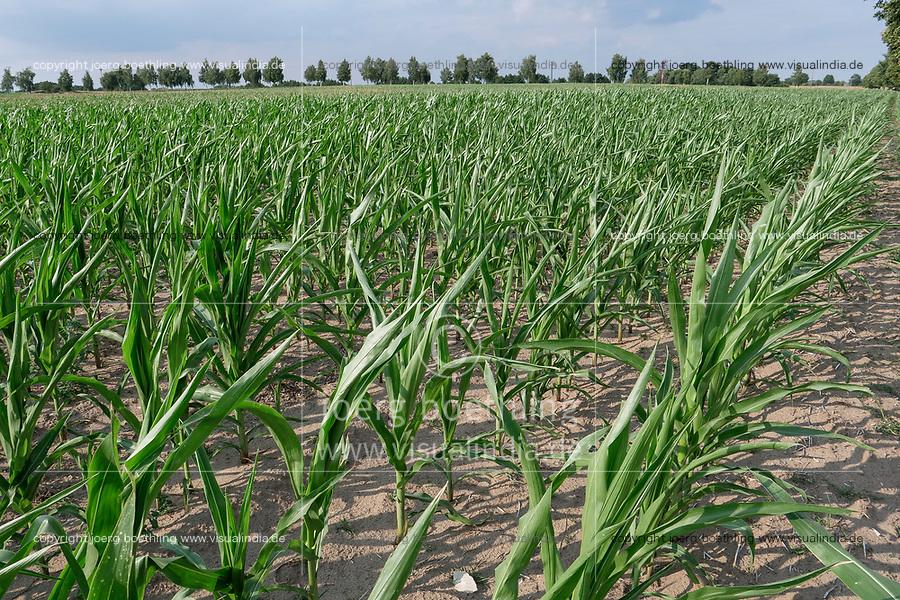 GERMANY, Plauerhagen, dried maize field due to drought  / DEUTSCHLAND, Plauerhagen, trockenes Maisfeld durch Trockenheit und ausbleibende Niederschlaege