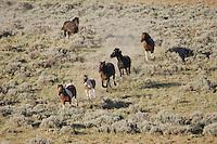 Mustang Horse (Equus caballus), herd running, Pryor Mountain Wild Horse Range, Montana, USA