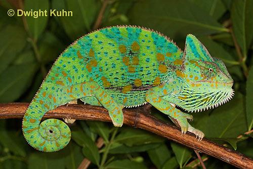 CH39-513z  Female Veiled Chameleon in display colors, Chamaeleo calyptratus