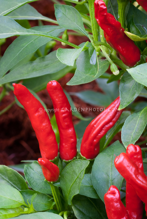 Capsicum 'Takanotsume' chile pepper vegetable red