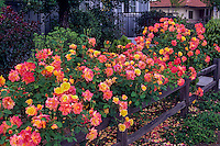 Rose 'Joseph's Coat' trained as flowering shrub hedge along rustic fence