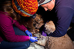 Mountain Lion (Puma concolor) biologists, Justine Alyssa Smith and Chris Wilmers, taking blood from sub-adult male for analysis during collaring, Santa Cruz Puma Project, Santa Cruz, Monterey Bay, California