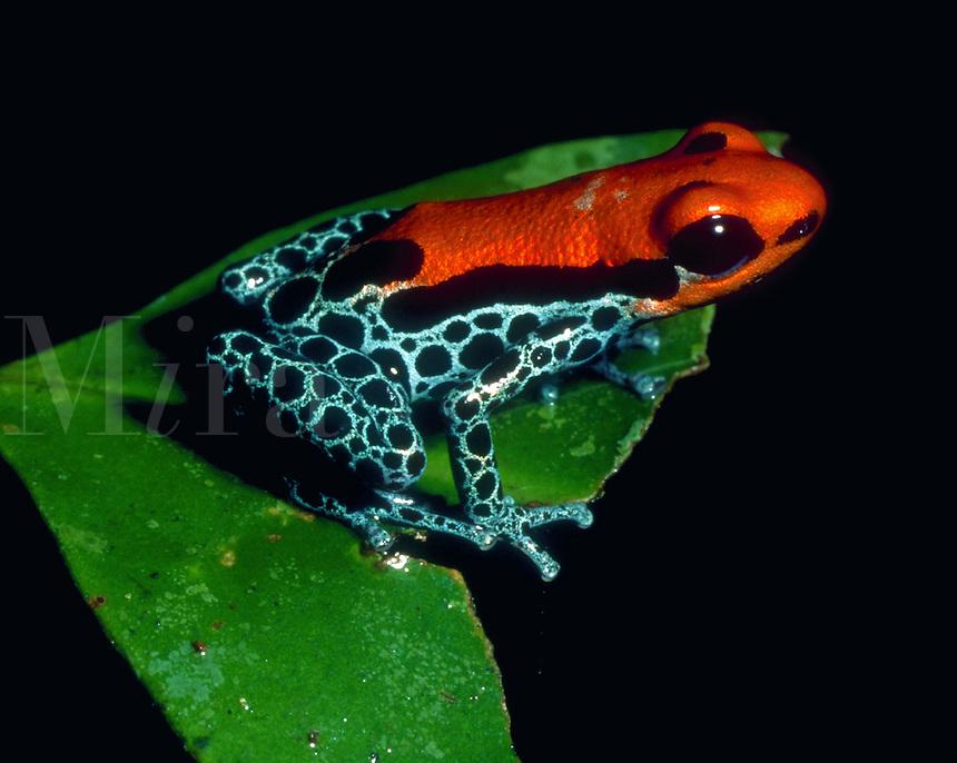 A Poison Dart frog. Amazon Jungle, Peru.