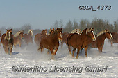 Bob, ANIMALS, REALISTISCHE TIERE, ANIMALES REALISTICOS, horses, photos+++++,GBLA4373,#a#, EVERYDAY