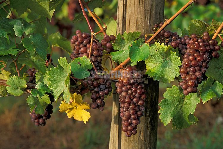 Pinot Gris wine grapes on vine; Champoeg Vineyards, Willamette Valley, Oregon..#9031-6513