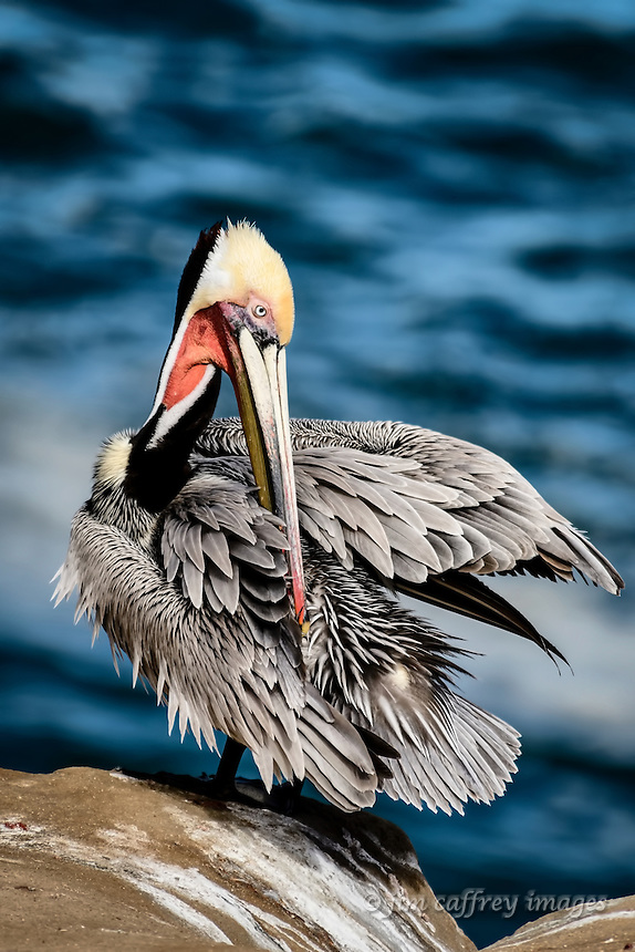 A Brown Pelican at La Jolla Cove near San Diego, California spreads its wings to preen its back feathers.
