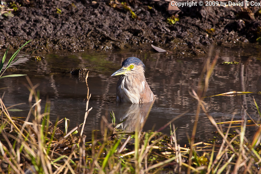 Nankeen Night-Heron bathing, Yellow Water, Kakadu NP, NT, Australia