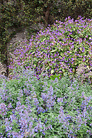 Strobilanthes with Nepeta