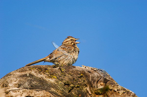 Song Sparrow (Melospiza m. melodia). Spring. Point Pelee National Park, Ontario. Canada.