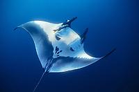 giant oceanic manta ray, Mobula birostris, formerly Manta birostris, Mexico