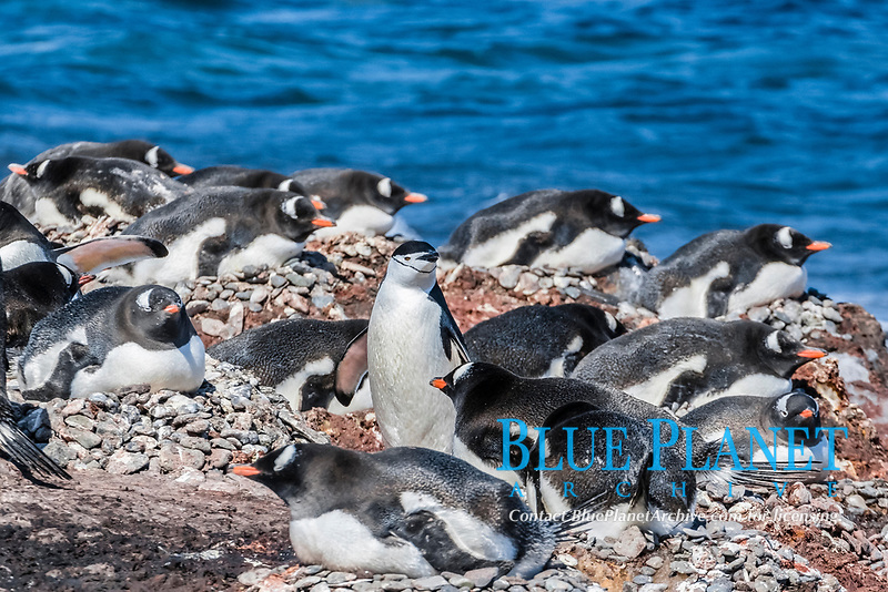 gentoo penguin, Pygoscelis papua, surround a chinstrap penguin, Barrientos Island, Antarctica, Southern Ocean