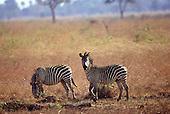 Mikumi Park, Tanzania. Wildlife safari reserve; zebras in savannah.