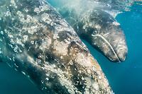 gray whale, Eschrichtius robustus, mother and calf, San Ignacio Lagoon, Baja California Sur, Mexico, Gulf of California, Sea of Cortez, Pacific Ocean