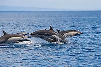 A group of Short-beaked Common Dolphin, Delphinus delphis, porpoising, Costa Rica, Pacific Ocean