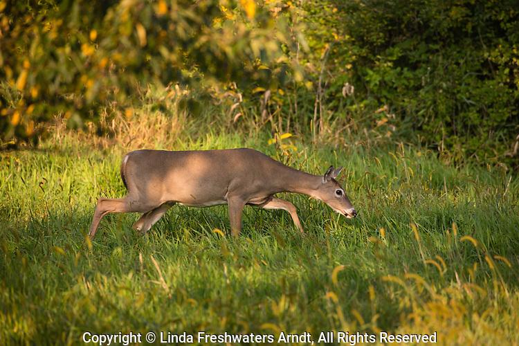 White-tailed doe sneaking through an autumn field.