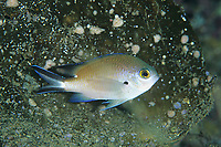 Smoky damselfish or Smoky chromis, Chromis fumea, Yawatano, Sagami bay, Izu peninsula, Shizuoka, Japan, Pacific Ocean