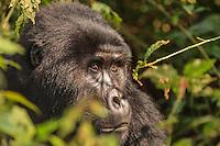 Africa, Uganda ,Bwindi Park, mountain gorilla (Gorilla beringei beringei),hominoid primates
