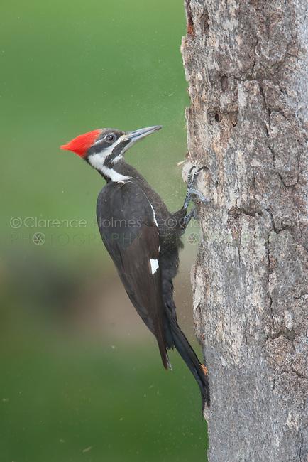 Pileated Woodpecker (Dryocupus pileatus) - Female, Fort Desoto Park, near St. Petersburg, Florida.