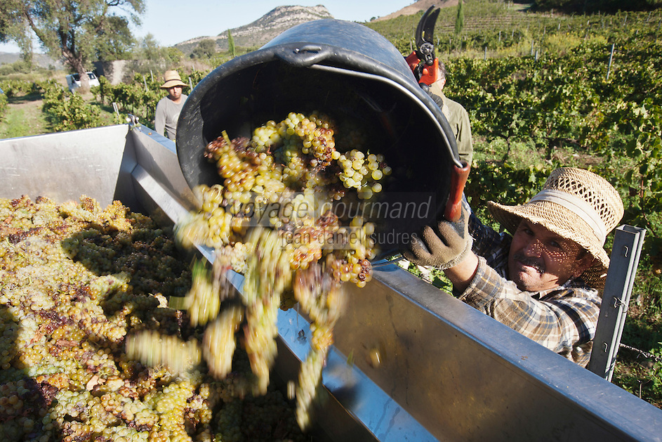 Europe/France/Corse/2B/Haute-Corse/Cap Corse/Patrimonio: Vendanges manuelles au domaine Orenga de Gaffory [Non destiné à un usage publicitaire - Not intended for an advertising use]