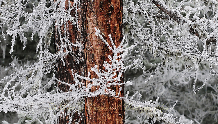 """""""HOAR FROST ON LARCH""""<br /> <br /> (1) 24 X 14 canvas print $1,200<br /> <br /> 16 x 12.5 signed paper print<br /> 1/50 $95.00<br /> <br /> <br /> <br /> <br /> <br /> <br /> Lacey hoar frost clings to a western larch, replacing the green needles it lost in the Fall. The rich red bark provides a lovely contrast."""