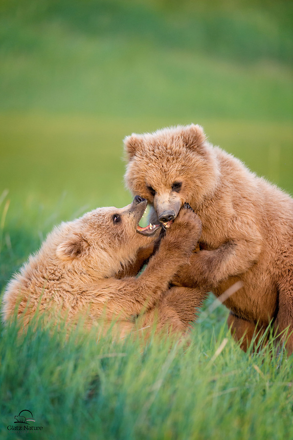 These two Coastal Brown Bear (Ursus arctos) cubs are brother (at right here) and sister (left).  This sister is smaller, but pretty tough.  Here she's using all her weapons - teeth, claws and feet - to keep brother bear off of her.  Hallo Bay, Katmai National Park, Alaska.