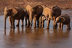 African elephant (Loxodonta africana) drinking along the Ewaso Nyiro River between the Samburu and Buffalo Springs Game Reserves in Kenya, Africa. IUCN: Vulnerable Species
