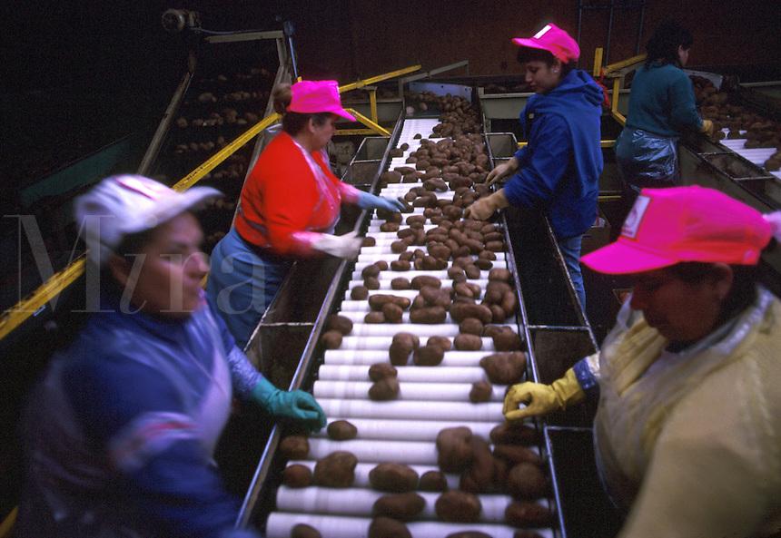 Workers sorting grades of potatoes on a conveyor belt. Texas.