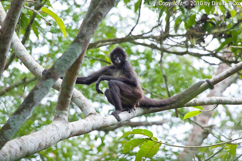 Central American  Spider Monkey, Lago Petexbatun, Peten, Guatemala