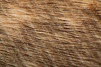 Feder eines Uhu, Eule, Eulenfeder, Vogelfeder, Konturfeder bestehend aus einem langen und festen Federkiel (Scapus) sowie einer Federfahne (Vexillum), vom Federschaft gehen nach vorn und hinten Federäste (Barbae oder Rami) aus, von welchen jeweils wieder Bogenstrahlen (Barbulae proximales) und Hakenstrahlen (Barbulae distales) entspringen. An den Hakenstrahlen sitzen feine Häkchen, die sich mit den Bogenstrahlen des benachbarten Federastes verhaken und somit die notwendige Steifheit und Festigkeit der Federfahne herstellen. Mit fellartigem Flaum auf der Oberfläche der Feder. Vergrößerung unter dem Binokular, Stereolupe, Lupe, Mikroskop