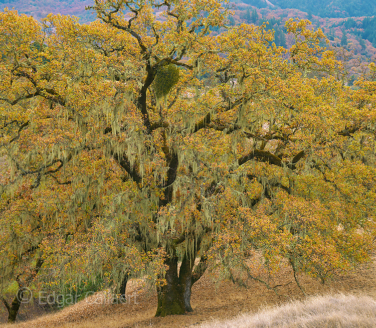 Valley Oaks, Quercus lobata, Acorn Ranch, Yorkville, Mendocino County, California