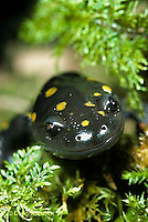 Spotted Salamanders - Life Cycle