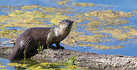 The otters I saw in Buck Lake were busy hunting for salamanders.