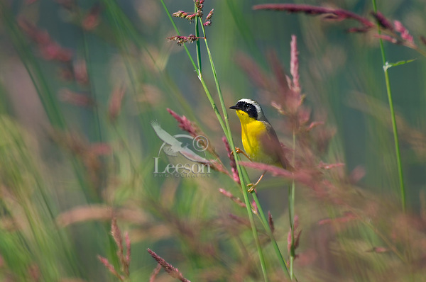 Common Yellowthroat male (Geothlypis trichas) in tall meadow grass.  Pacific Northwest.  Summer.
