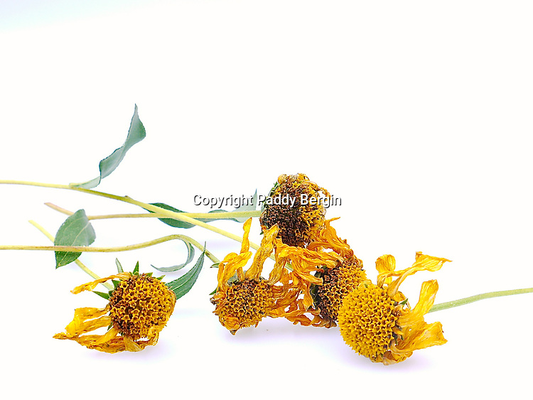 Rudbeckia is a plant genus in the sunflower family. The species are commonly called coneflowers and black-eyed-susans; all are native to North America.<br /> <br /> This photo shows the dried flower heads.<br /> <br /> Stock Photo by Paddy Bergin