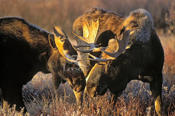 Bull Moose (Alces alces) locking antlers in autumn rut..Dominance display. Rocky Mountains..Grand Teton National Park, Wyoming. U.S.A..