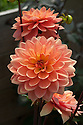 Dahlia 'Charlie Dimmock', a Small Waterlily type, mid August.
