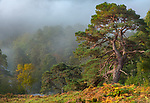 Western Highlands, Scotland: Clearing morning fog and ancient Caledonian pines in Glen Strathfarrar