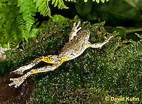 1219-1007  Frog Jumping, Eastern Gray Treefrog (Grey Tree Frog), Hyla versicolor  © David Kuhn/Dwight Kuhn Photography