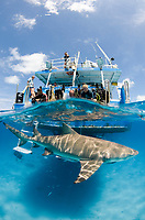 Lemon Shark, Negaprion brevirostris, Tiger Beach, Grand Bahama Bank, Caribbean Sea, Atlantic Ocean