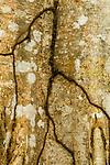 Termite tunnels on tree, Metropolitan Natural Park, Panama City, Panama