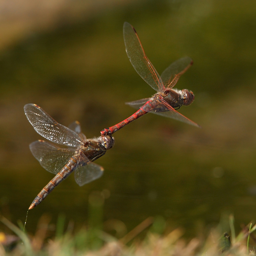 Male Variegated Meadowhawks are territorial and also compete with other species for access to open water. They alternate between patrolling low over the water and perching in suitable habitat. Tandem pairs oviposit by repeated tapping of the females abdomen into the water or onto algae.