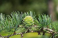 Japanische Lärche, Larix kaempferi, Larix leptolepis, Japanese larch, karamatsu, Le Mélèze du Japon