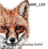 Simon, REALISTIC ANIMALS, REALISTISCHE TIERE, ANIMALES REALISTICOS, paintings+++++Card_OliviaH_Fox,GBWR128,#a#, EVERYDAY,fox