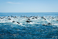 short-beaked common dolphin, Delphinus delphis, pod, fleeing from a killer whale attack, Mexio, Gulf of California, Sea of Cortez, Pacific Ocean