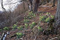 Stinkende Nieswurz, Helleborus foetidus, stinking hellebore, dungwort, bear's foot