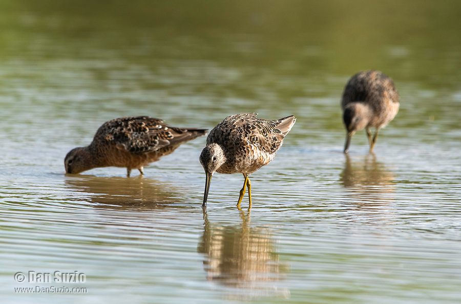 Three Long-billed Dowitchers, Limnodromus scolopaceus, feeding in shallow water at the edge of a lake in the Riparian Preserve at Water Ranch, Gilbert, Arizona
