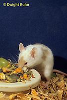 MU50-042x  Pet Mouse - eating