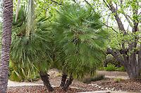 Chamaerops humilis (Mediterranean Fan Palm),<br /> Landscape Southern California Style  -demonstration garden by Western Municipal Water District, Riverside California