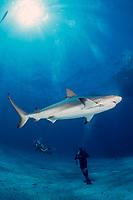 Caribbean reef shark, Carcharhinus perezii, Bahamas, Caribbean Sea, Atlantic Ocean